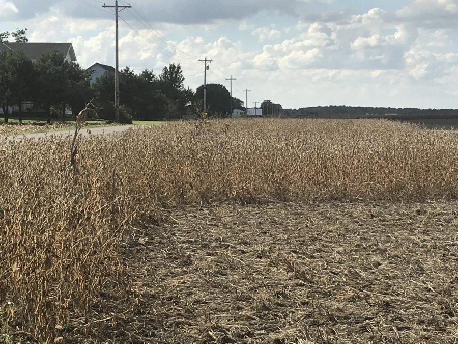 Soybeans are ready for harvest in fields near Bath, Ind., just west of Oxford. Photo by Patrick Keck