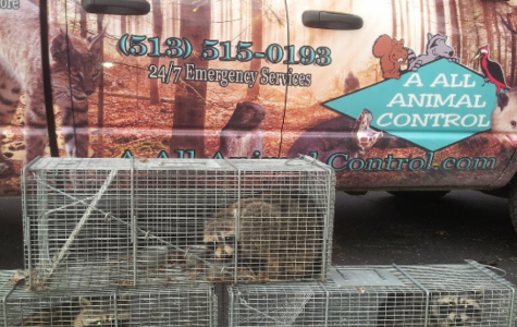 An A All Animal Control (AAAC) truck with a recent catch of racoons. <em>Photo courtesy of Jessica Earley</em>