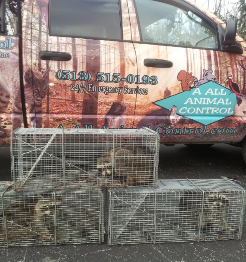 An A All Animal Control (AAAC) truck with a recent catch of racoons. Photo courtesy of Jessica Earley