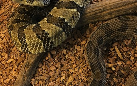 Pete and Higgins, a pair of Timber Rattlesnakes, will be featured attractions at the Hueston Woods Snake Soirée. <em>Photo courtesy of the Hueston Woods Nature Center</em>