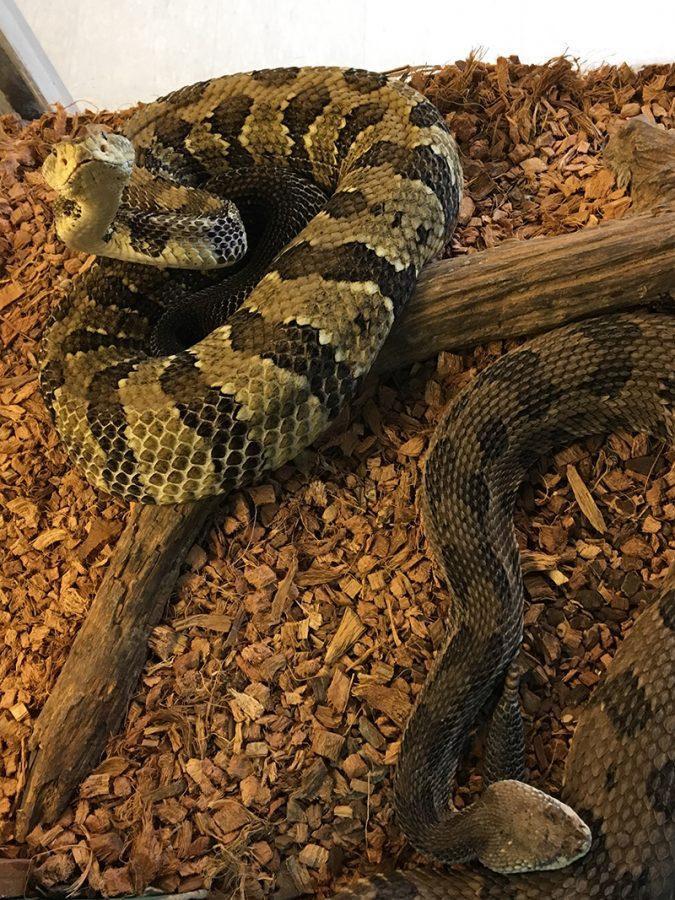 Pete and Higgins, a pair of Timber Rattlesnakes, will be featured attractions at the Hueston Woods Snake Soirée. Photo courtesy of the Hueston Woods Nature Center