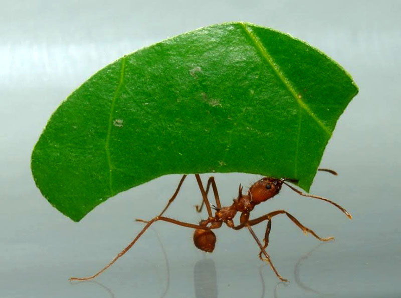 A+leaf+cutter+ant%2C+one+of+millions+that+keep+the+Rainforest+in+trim.+Photo+courtesy+of+Audubon+Miami+Valley