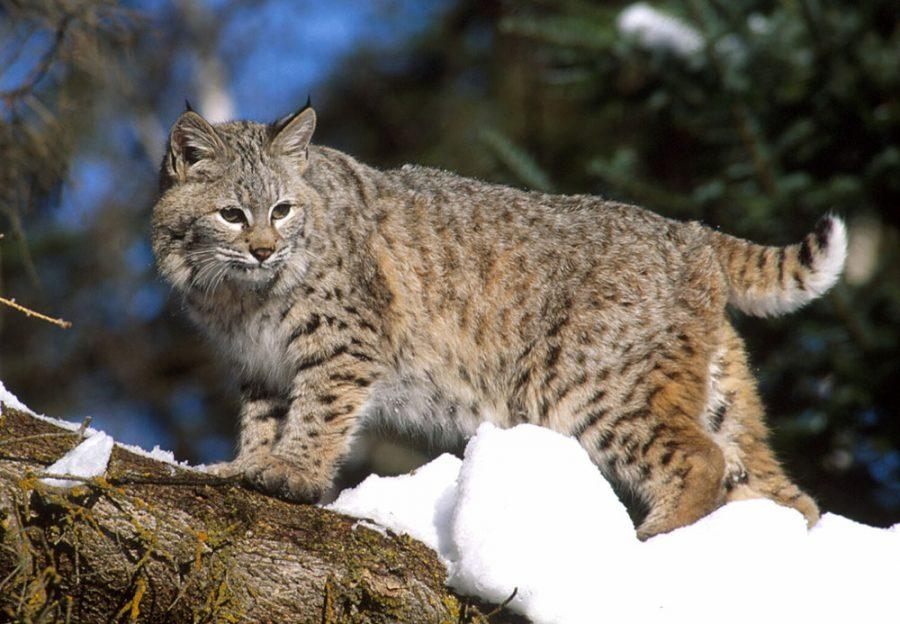 Once+almost+gone+from+Ohio%2C+bobcats+have+been+making+a+comeback+in+recent+years.+Photo+courtesy+of+the+Ohio+Department+of+Natural+Resources+Division+of+Wildlife