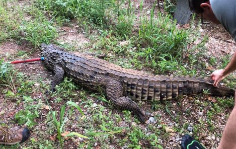 An Ohio Department of Natural Resources officer shot and killed this 7 ½ foot long crocodile in a Preble County creek this past Wednesday. Photo courtesy of Rich Denius