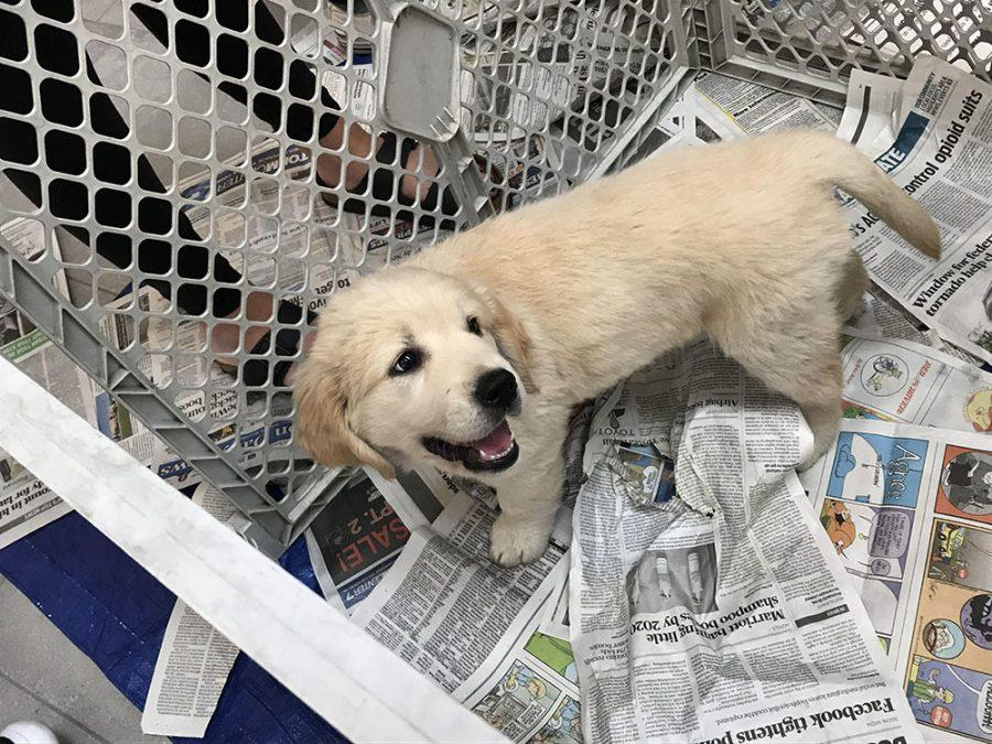 This+eight-week-old+golden+retriever%2C+which+was+shown+off+at+Miami%E2%80%99s+Armstrong+Student+Center+this+week%2C+will+grow+into+a+highly-trained+service+dog.+Photo+by+Yumeng+Shen.