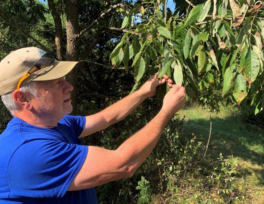 John Kinne checks trees on his Oxford Township farm for damage by emerald ash borers. <em>Observer file photo</em>