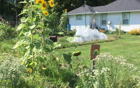 Flowers and herbs in the backyard of local gardener Carla Blackmar.