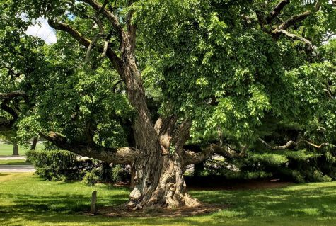 """This Bald Cypress tree is one of the many specimens on the Hefner Museum """"Tree Walk."""" It is located behind Miami's Dorsey Hall, on the road leading to Marcum Conference Center."""