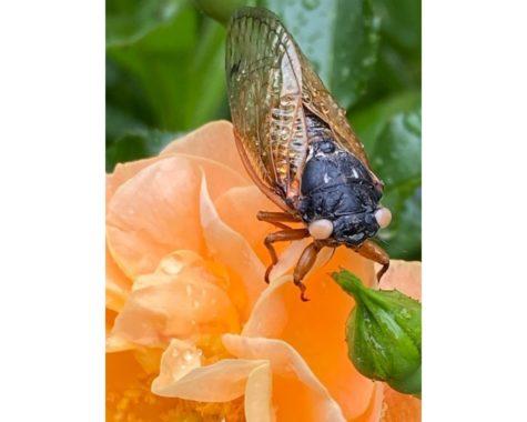 A peach-eyed cicada in Oxford.