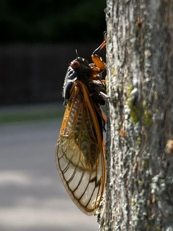 The buzz is fading away as the Brood X cicadas near the end of their life cycle. They won't return until 2038.